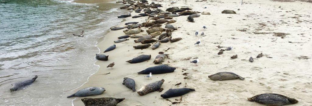 The Seals at Children's Pool in La Jolla
