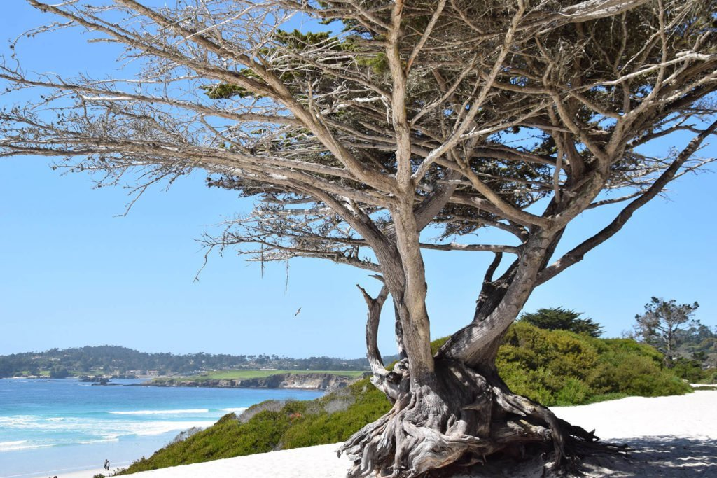 Famous twisted pines of Carmel, California