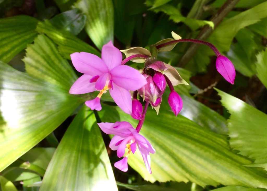 wild orchids at Smith Family Garden Luau