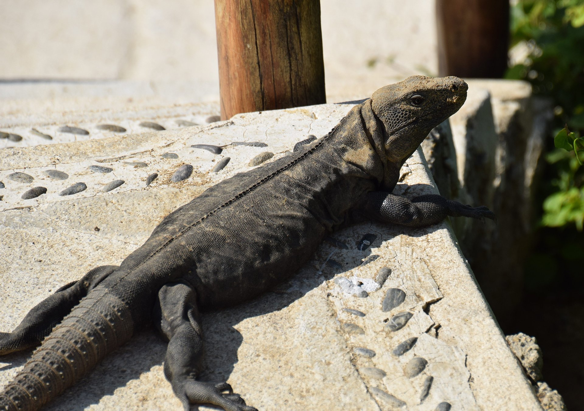 Friendly iguanas bask in the sun