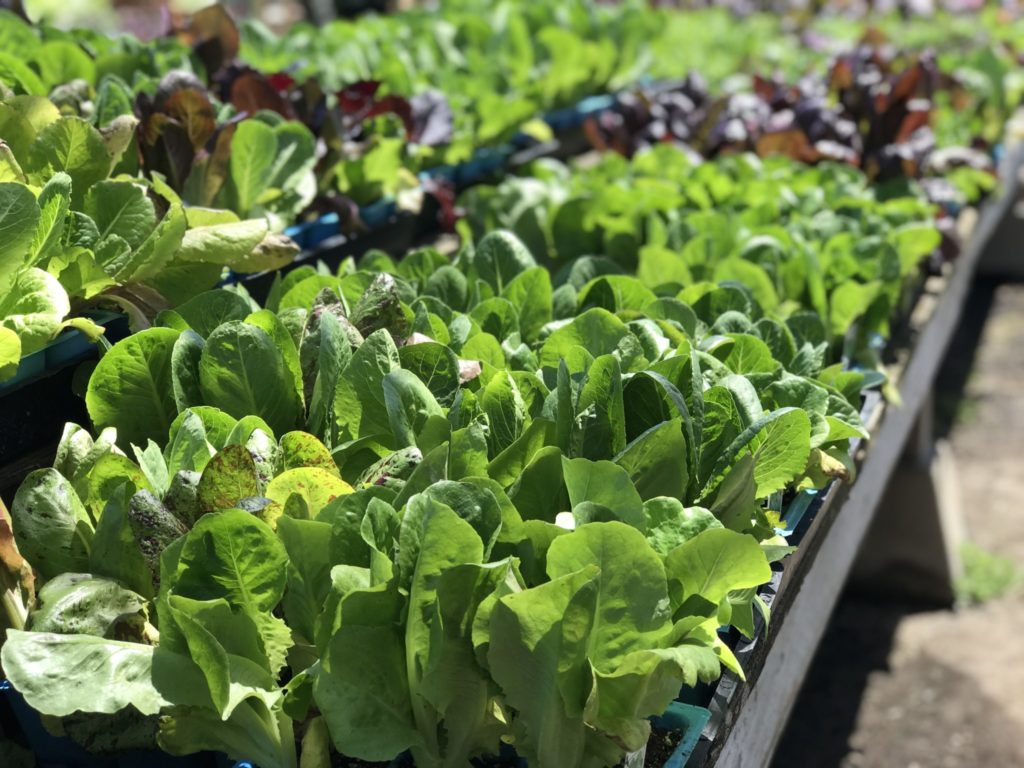 Romaine lettuce plants