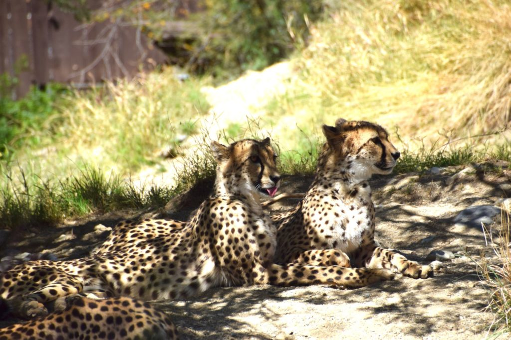 cheetahs relax at The Living Desert