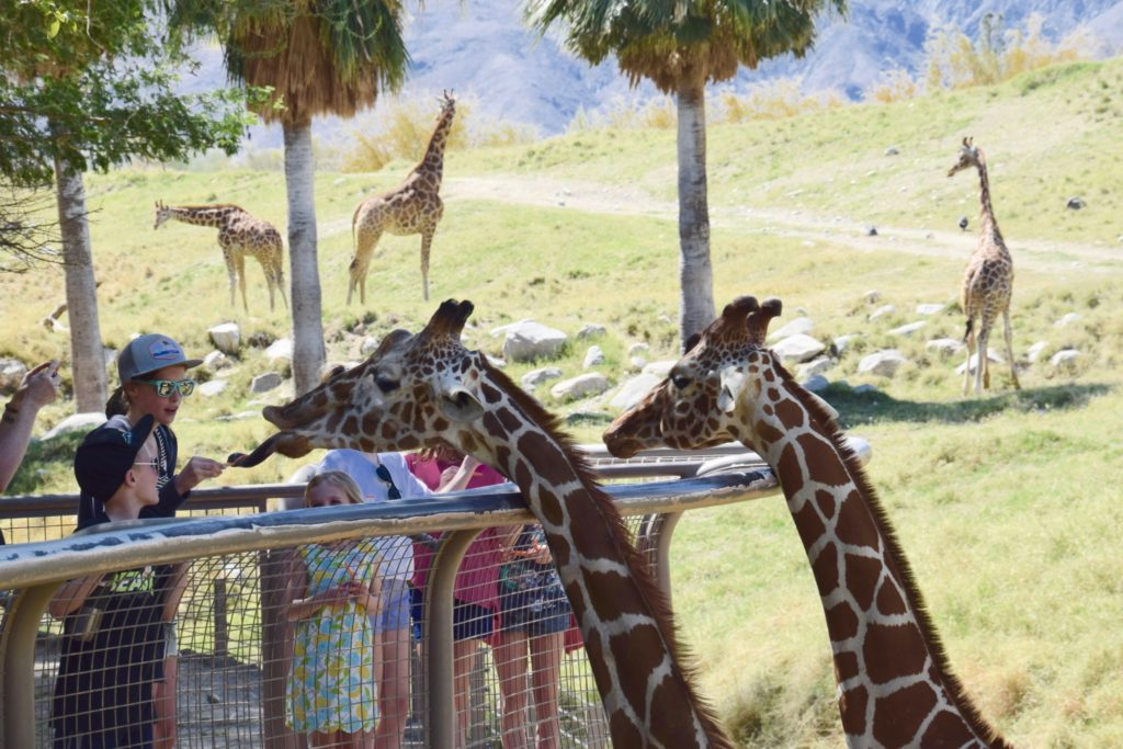 giraffe feeding time at The Living Desert