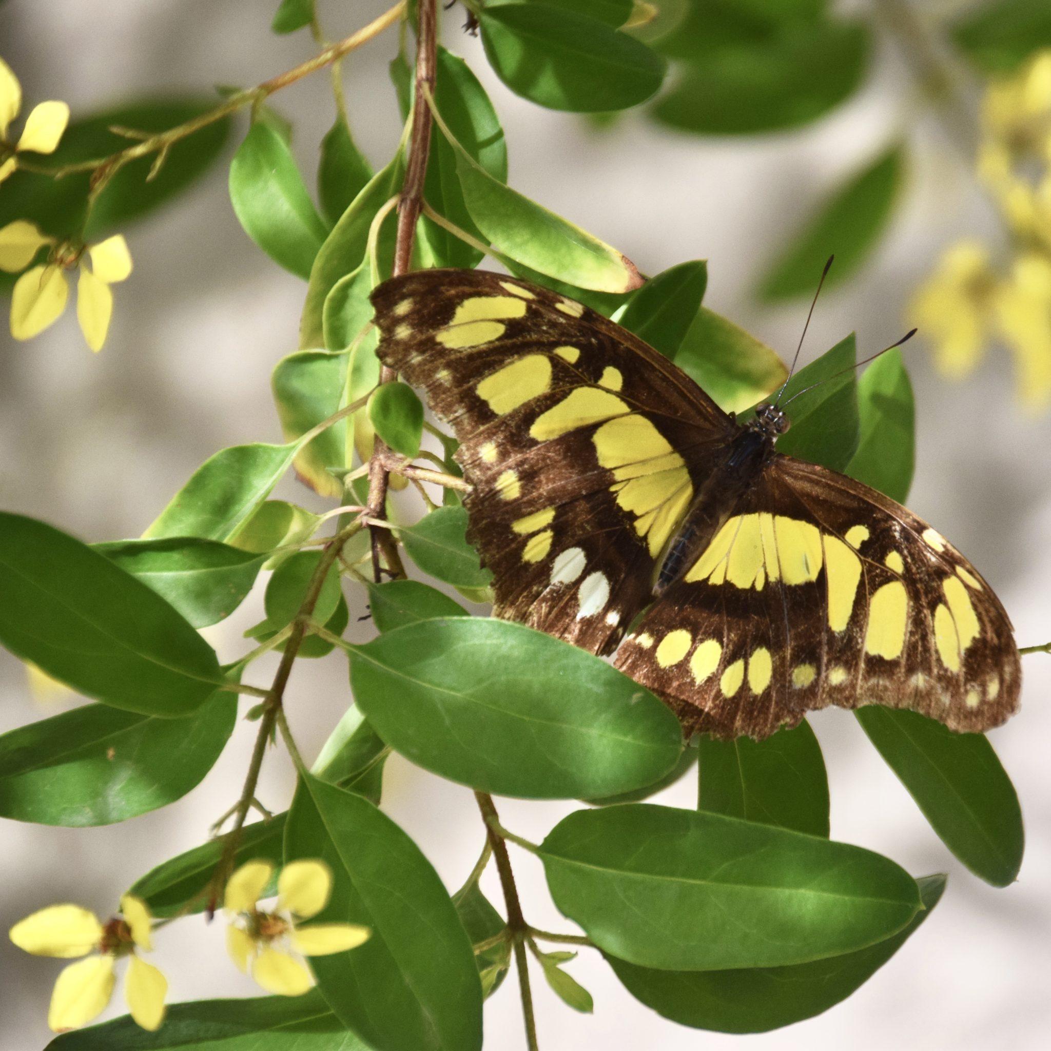 butterfly in Aruba