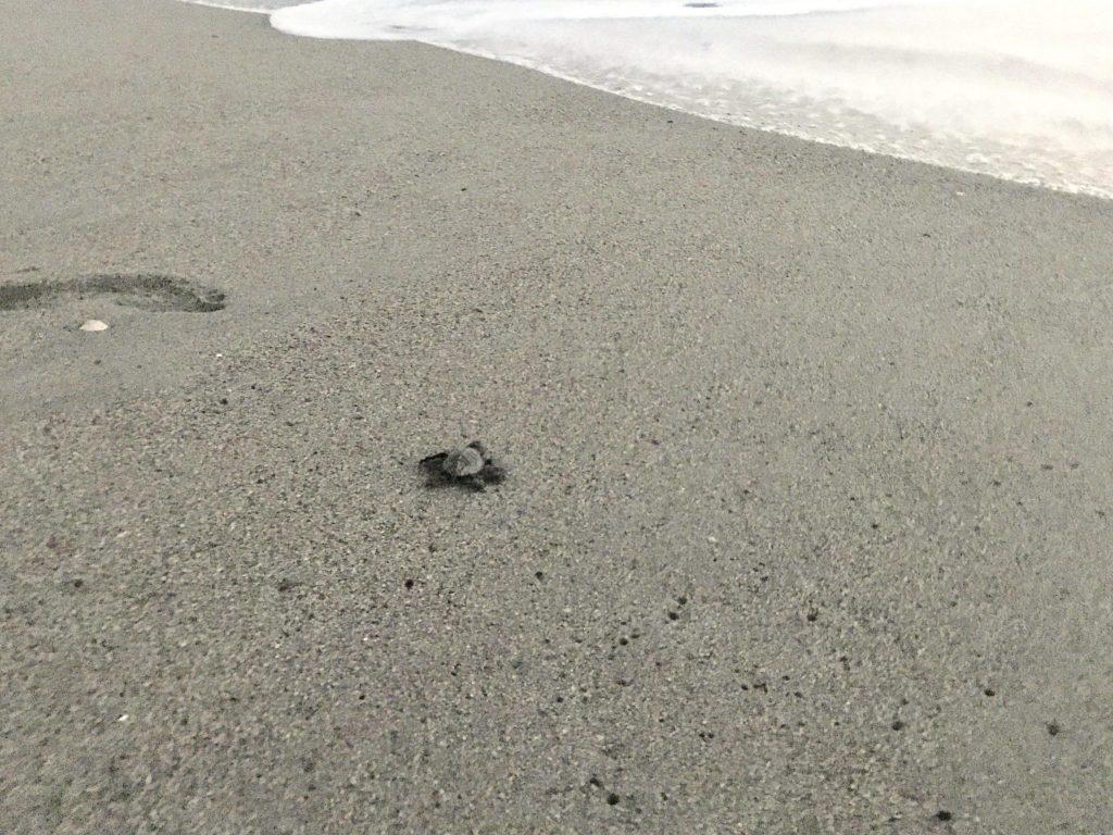 baby turtle released on sand at Marriott Puerto Vallarta