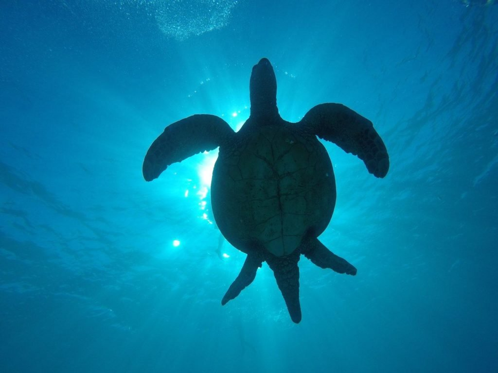 snorkeling with sea turtles Waikiki Beach Honolulu