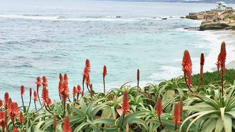 aloe blossoms at La Jolla Cove