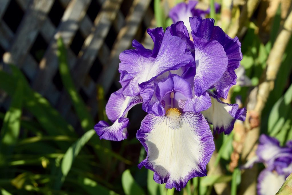 iris blooming in Mendocino