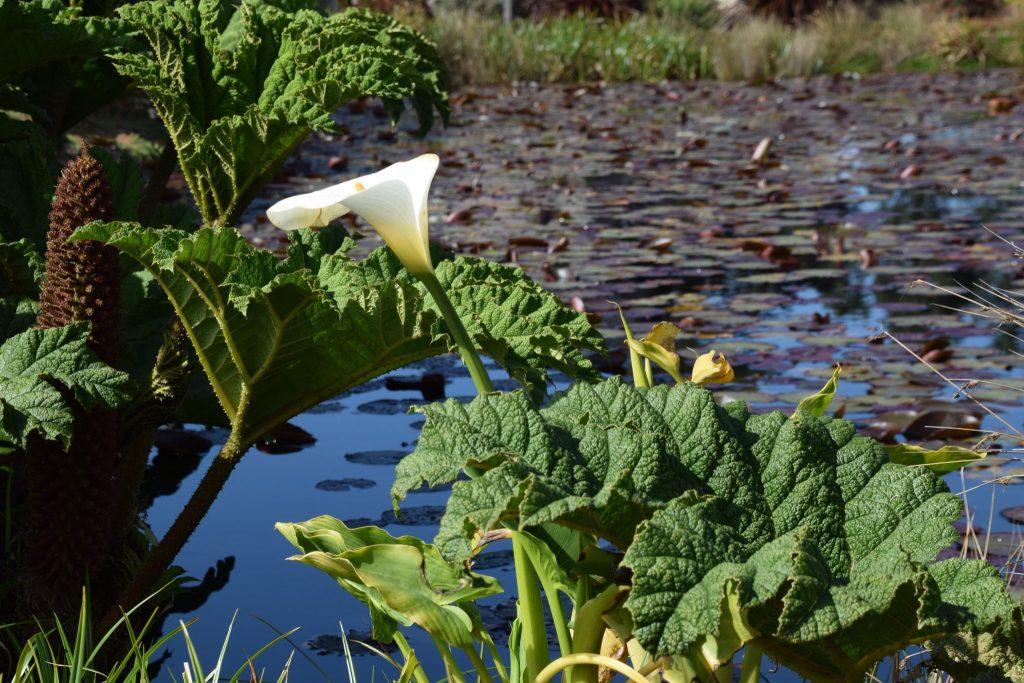 calla lily Mendocino pond