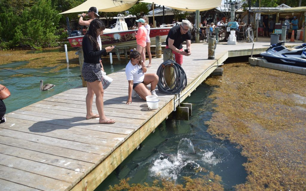 feeding the tarpons at Robbie's of Islamorada