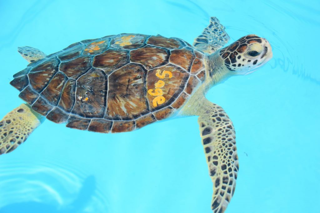 green turtle rescue at Turtle Hospital Florida Keys