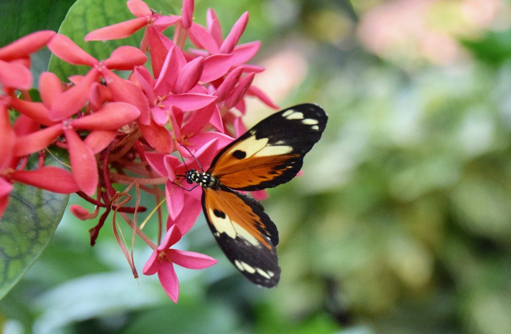 butterfly on pink flower in Key West