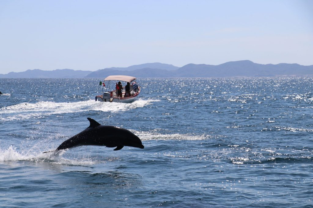 dolphin jumping from Sea of Cortez off coast of Loreto, Mexico