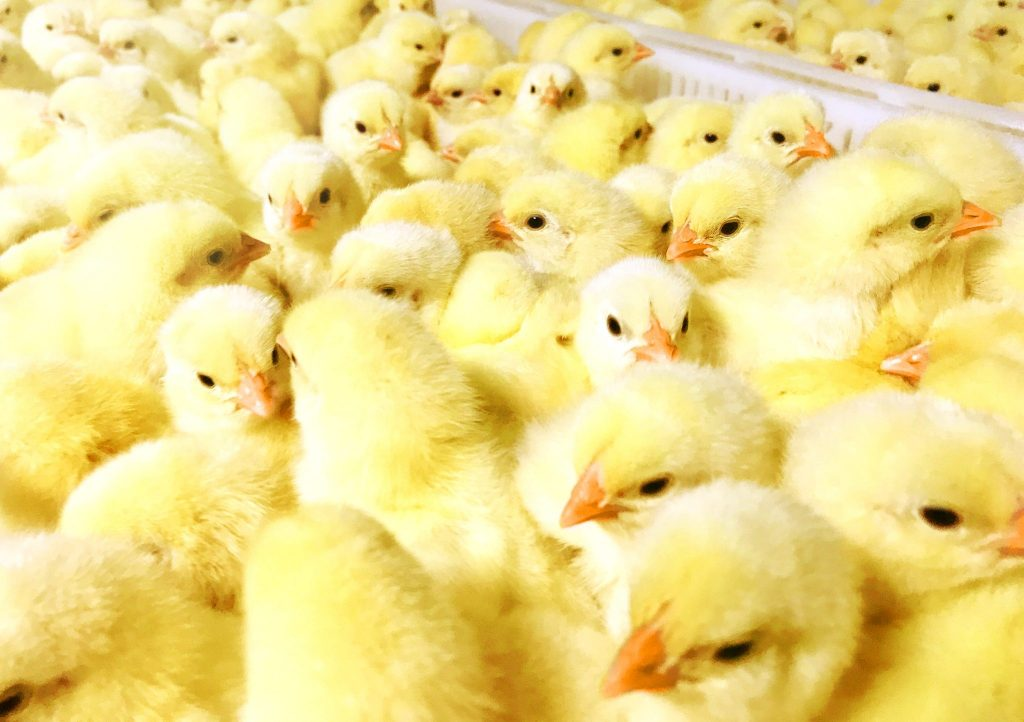 newly hatched chicks at Perdue Farms hatchery