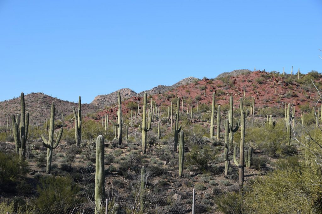 Tucson hillside with red earth and many cactus