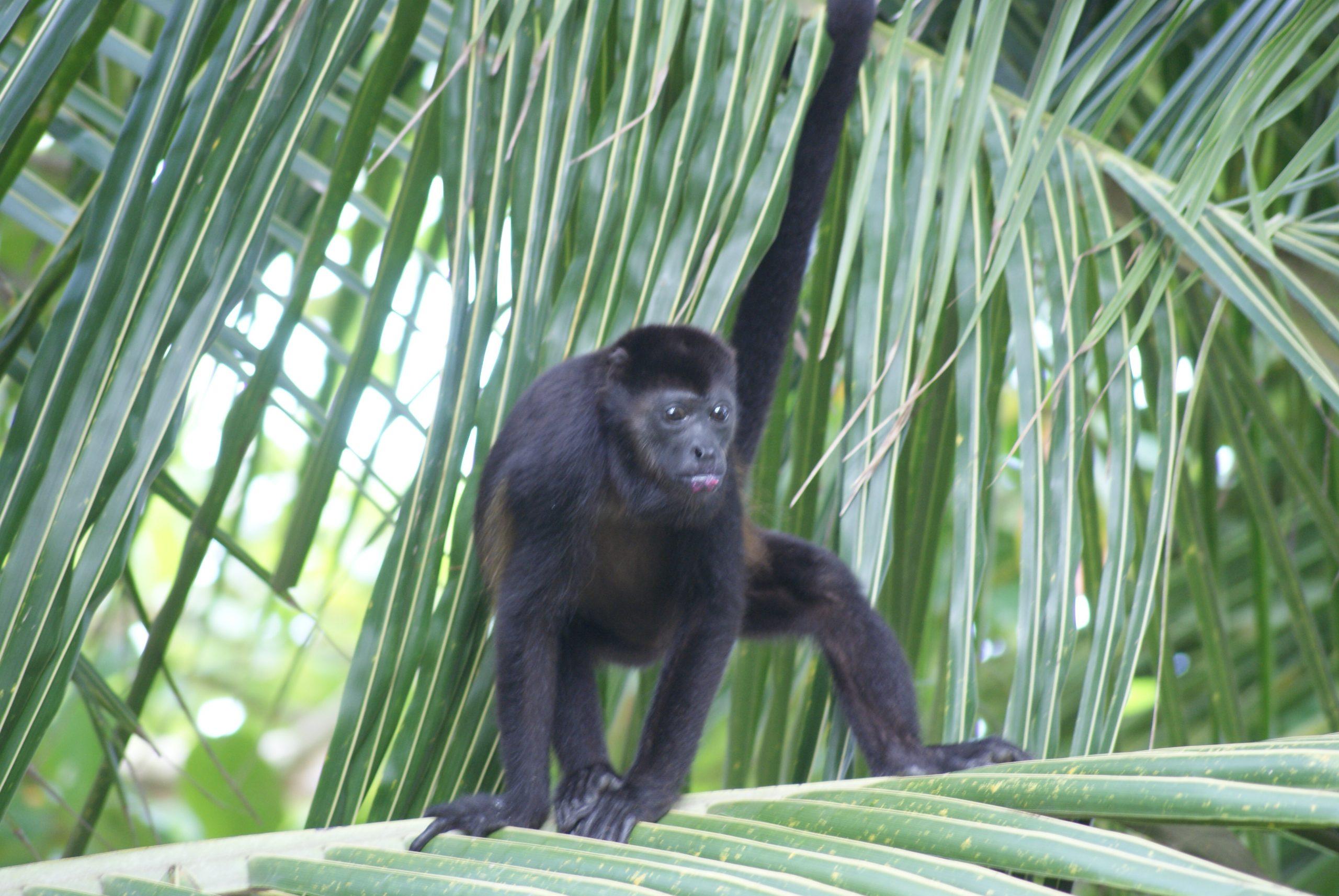 monkey hanging in palm tree near Tamarindo, Costa Rica