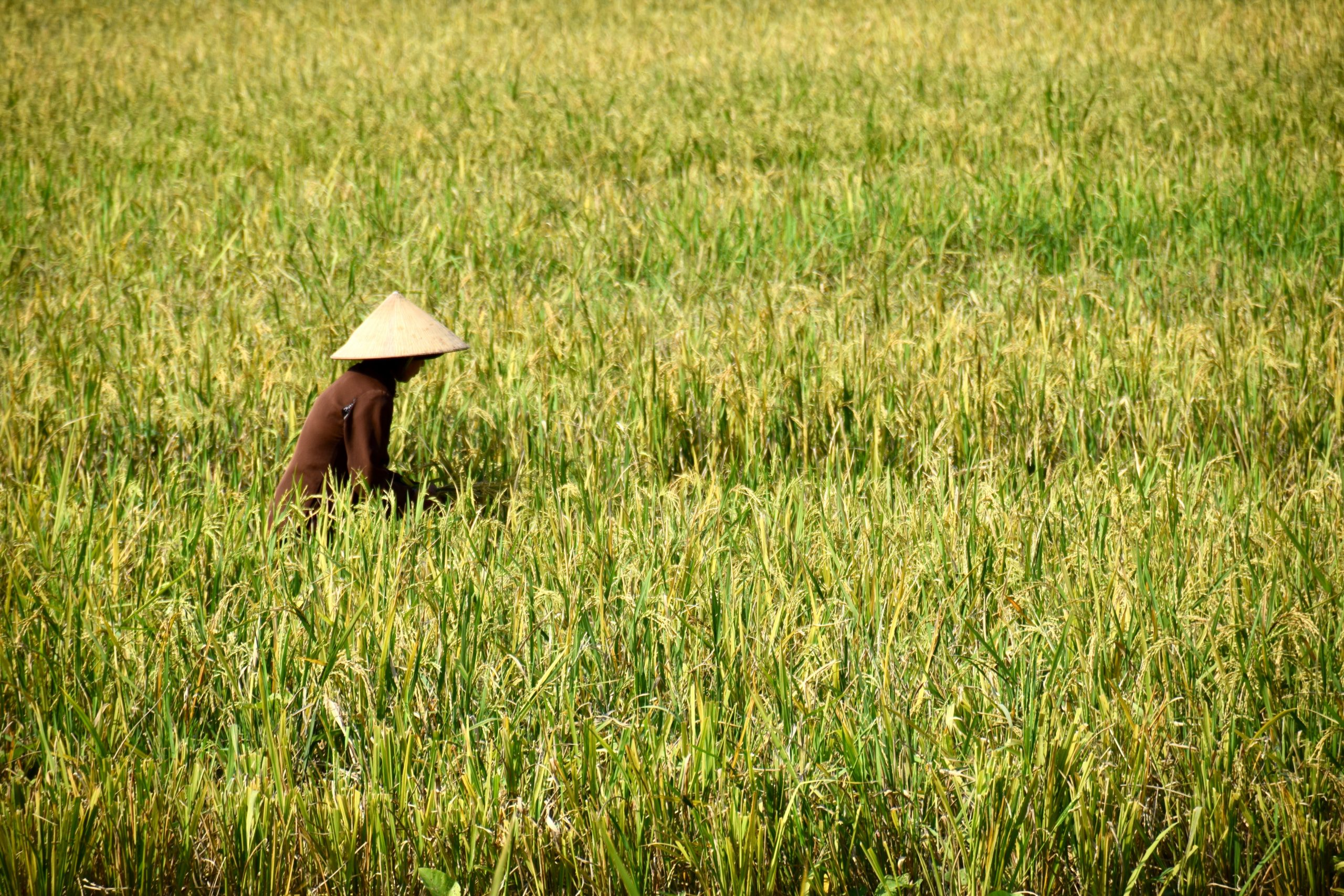 woman working in rice fields wearing traditional sun hat native to the areas surrounding Hanoi, Vietname