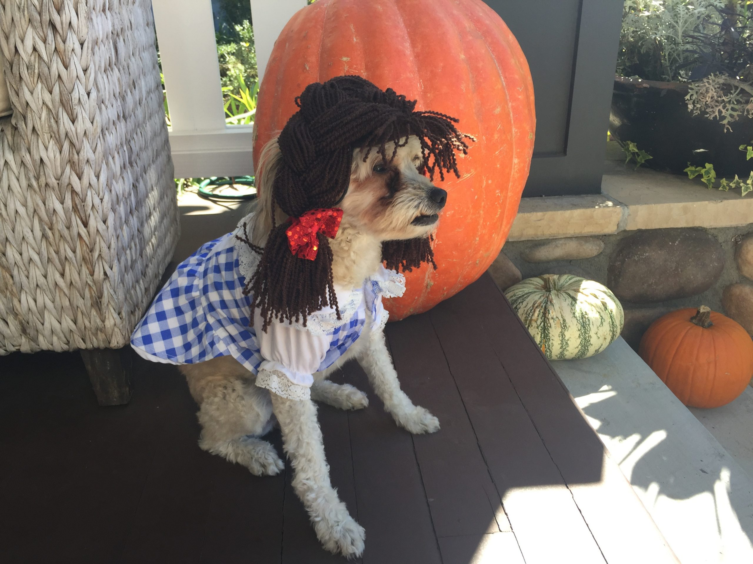 poodle mix dressed in a Dorothy from Wizard of Oz Halloween costume next to a huge pumpkin