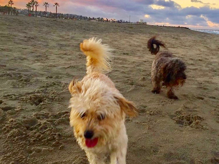 two dogs play at Dog Beach in Ocean Beach, San Diego, CA