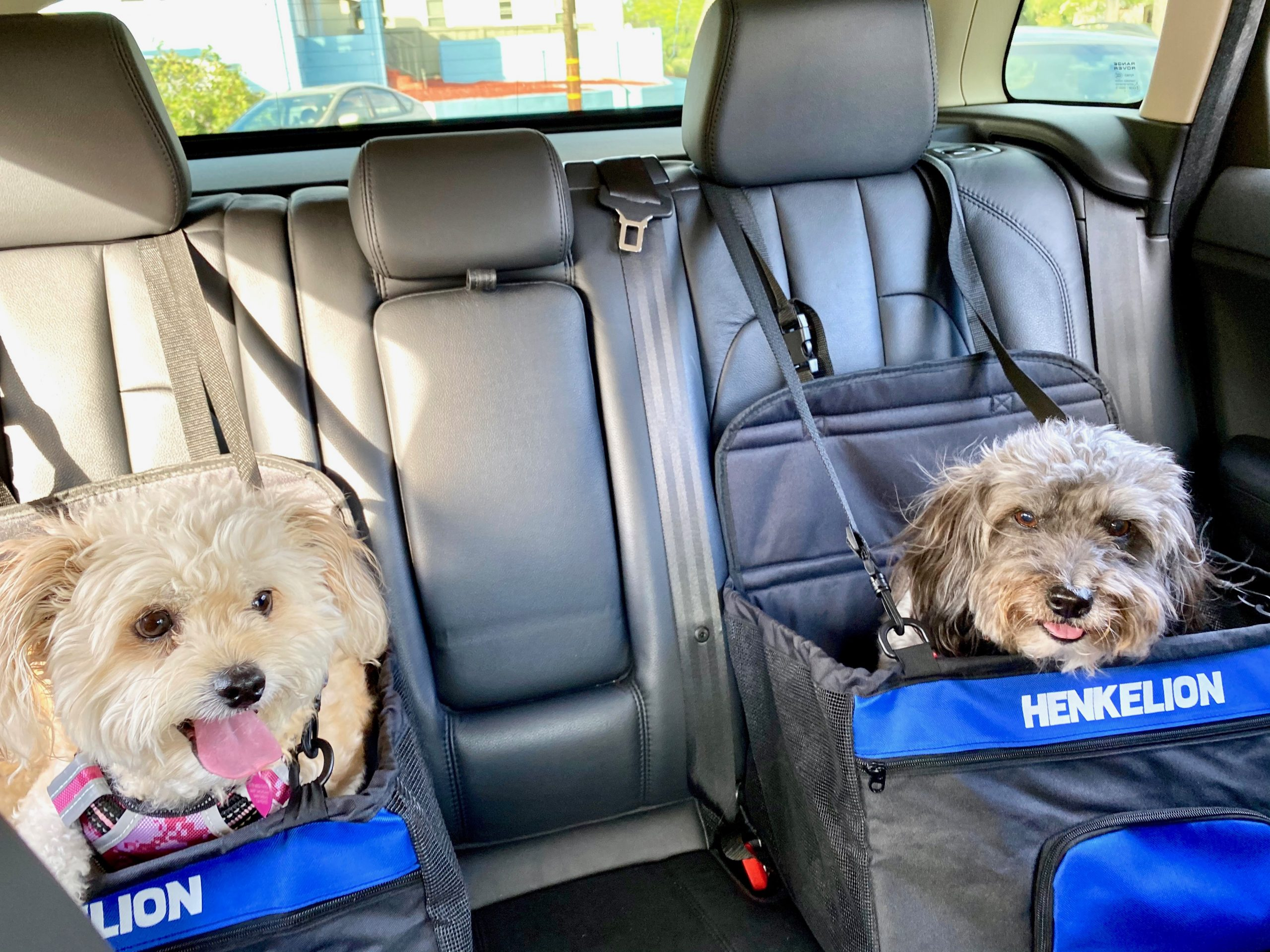 two dogs safely strapped into dog booster seats in back seat of car