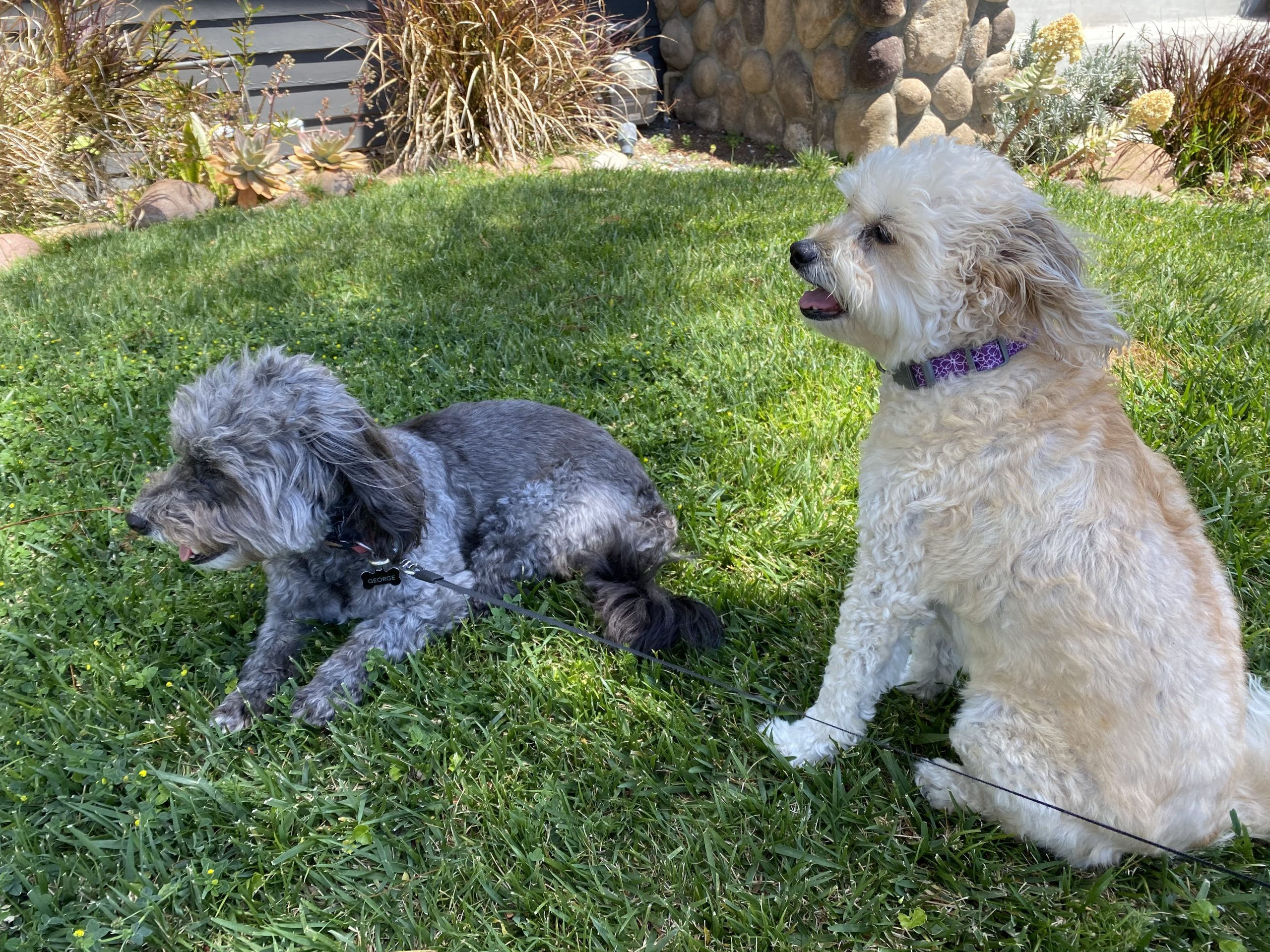 two rescue dogs relax on freshly cut lawn