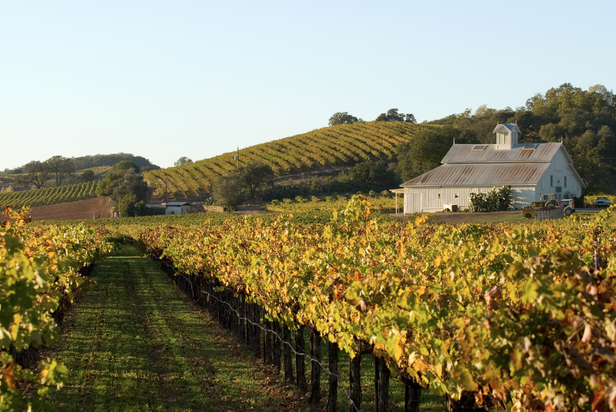 Beautiful golden colors of a vineyard late afternoon on an autumn day. Taken in California's Napa Valley.