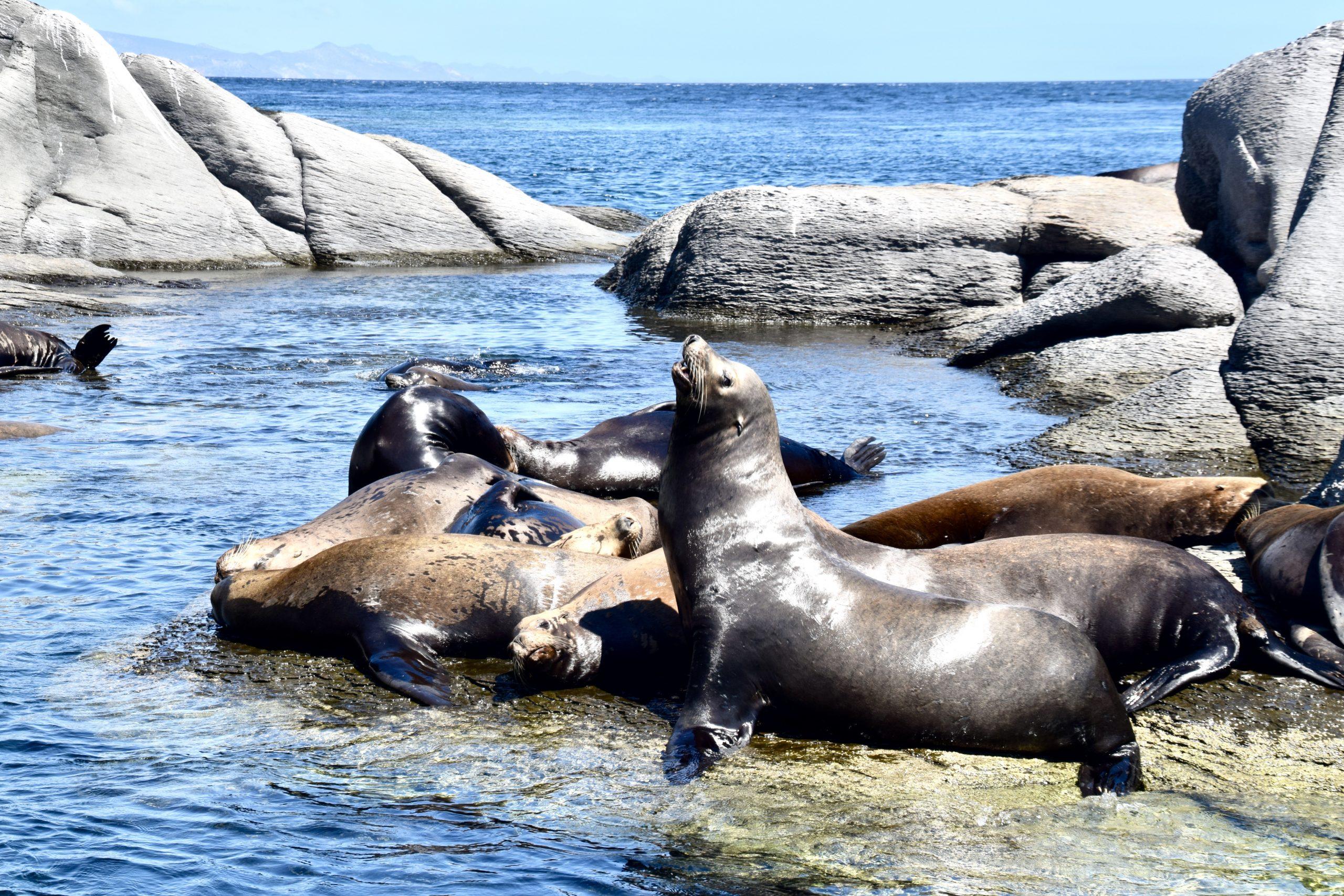 sea lions basking in the sun along the rocky coastline of Loreto, Mexico