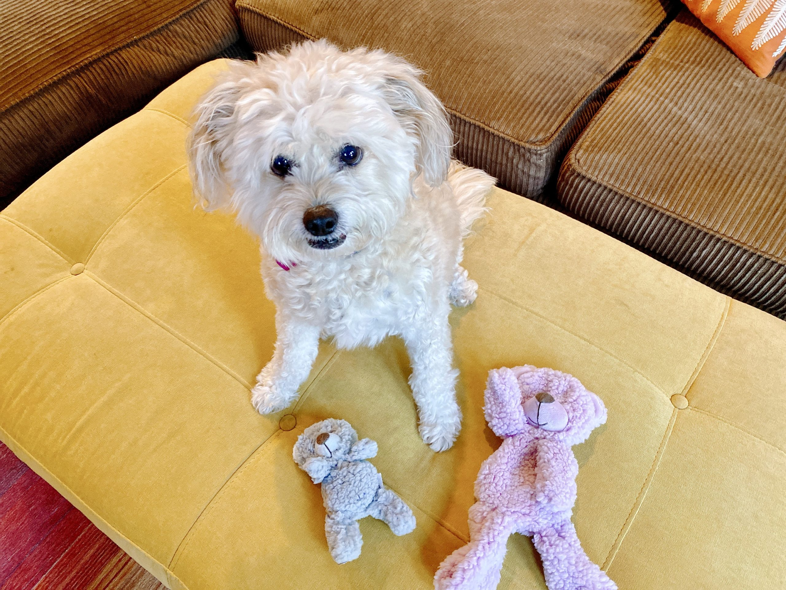 fluffy small yellow dog looks at camera with stuffed toys at her feet
