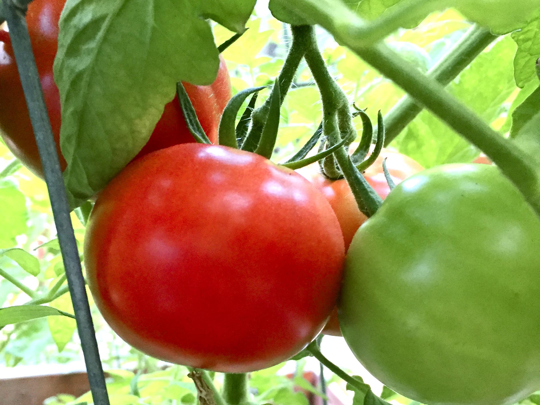 tomatoes ripening on the vine in backyard vegetable garden