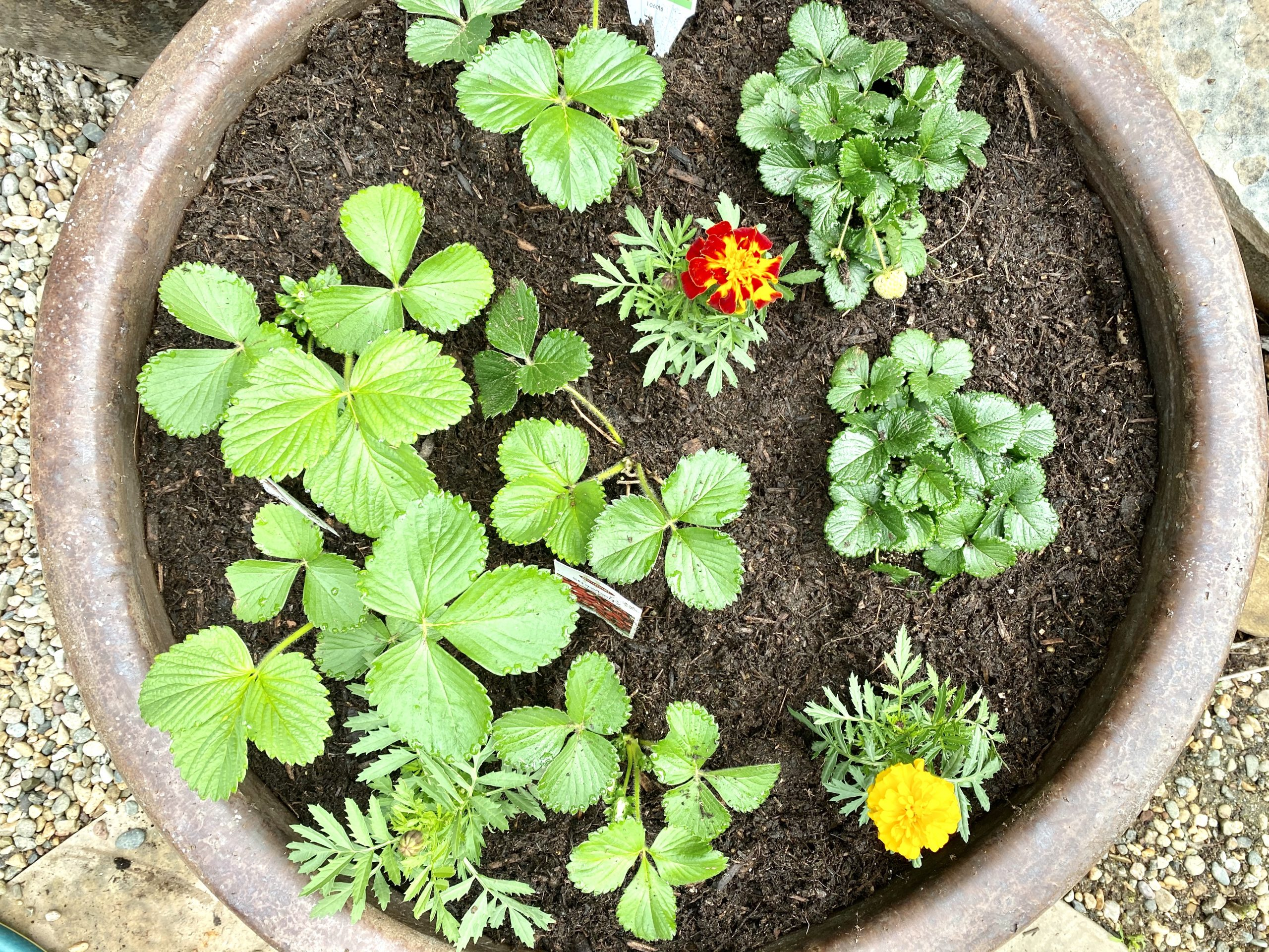 strawberry plants newly planted in a round pot with marigolds